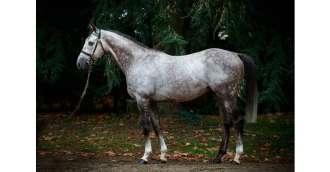 Image of stallion_TUNIS